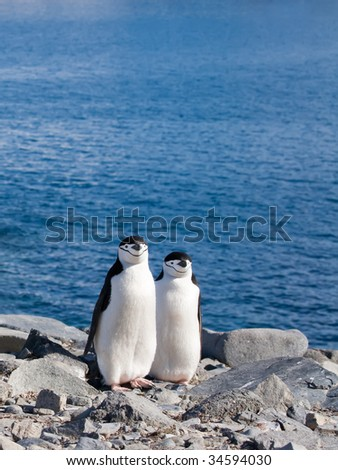 two penguins standing side by side - stock photo