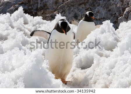 two penguins walking in snow - stock photo
