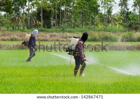 Two people are spraying pesticides in rice field - stock photo