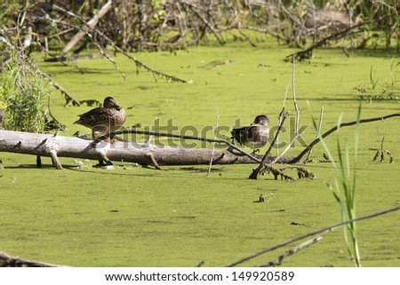 Two perched wood ducks in Fernan Lake, Idaho. - stock photo
