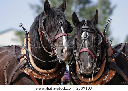 Two Percheron Draft Horse buddies wait patiently in full harness before they go to work (shallow focus) - stock photo