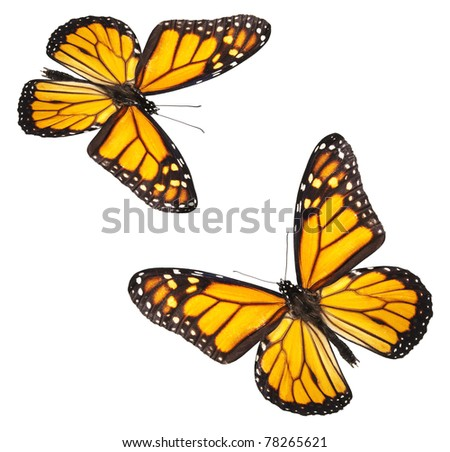 Two perfectly white isolated monarch butterflies - stock photo