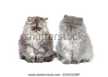 Two persian kittens in studio on a white background - stock photo