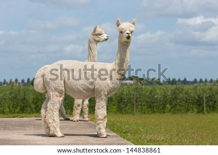 Two peruvian alpacas in a Dutch animal park - stock photo