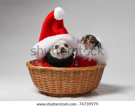 two pet chihuahua dogs in basket dressed in Christmas outfits - stock photo