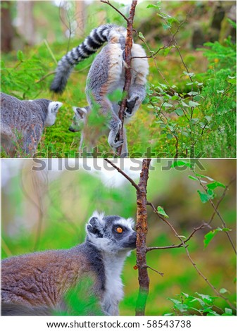 Two pictures of lemurs. A female marking her territory on the first one, and a male finding her scent on the other - stock photo