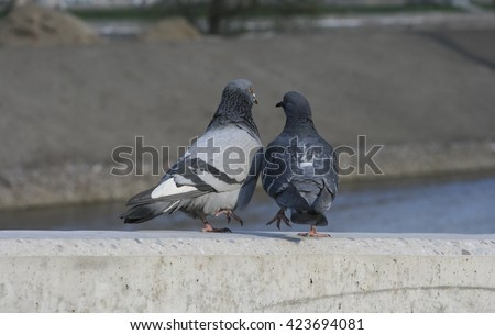 two pigeons, love