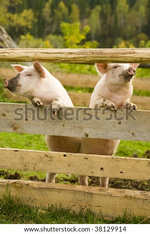 two pigs stand on hinder legs stock photo 18177343