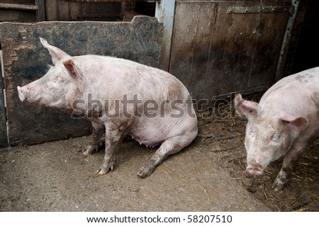 Two pigs in a stable, one sitting and one standing