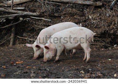 Two pigs in Russia - stock photo