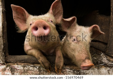 Two pigs in traditional farm - stock photo