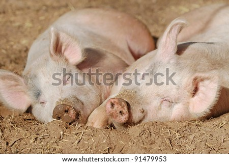 Two pigs laying on the dirt in the sun. - stock photo