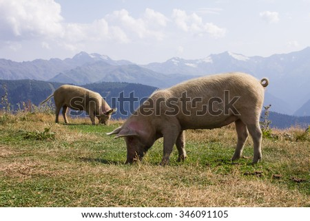 two pigs on a background of high mountains - stock photo