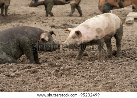 Two pigs with snouts together while in the mud at an agricultural farm