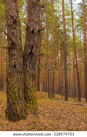 Two pine trees together in the pine forest