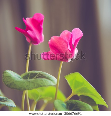 two pink cyclamen flowers