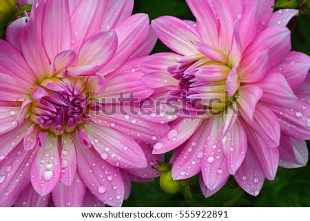Two pink dahlias covered in raindrops