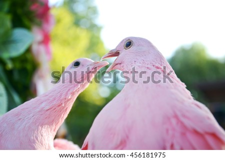 two pink doves kissing on a branch close-up.  - stock photo