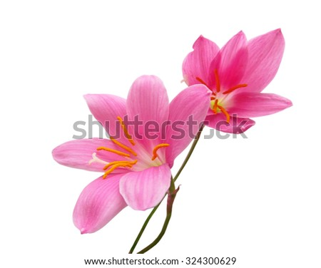 Two pink flower isolated on white background - stock photo