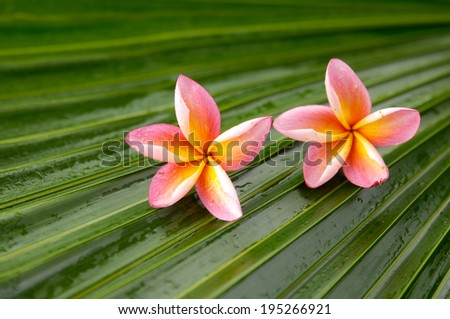 Two pink frangipani and wet palm leaf texture - stock photo