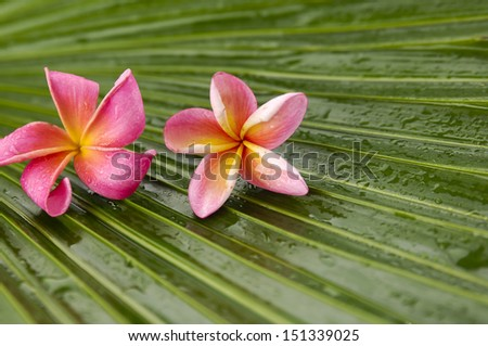 two pink frangipani on wet palm texture - stock photo