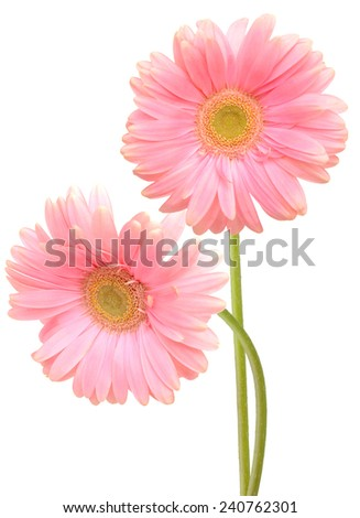 Two pink gerber flowers. Isolated on white background  - stock photo