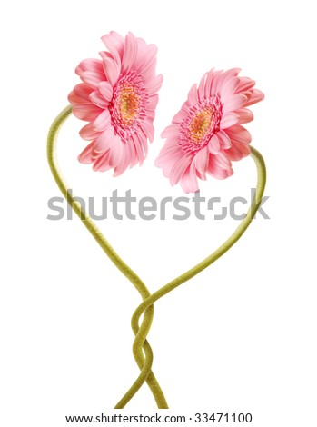 Two pink gerberas in love with each other - stock photo