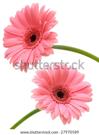 Two pink gerbers isolated on white background - stock photo