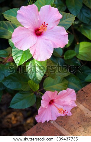 Two pink hibiscus flowers - stock photo