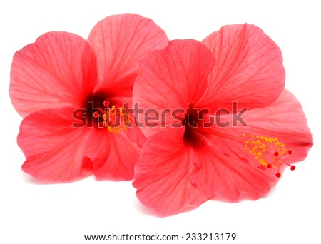 Two pink hibiscus isolated on white background - stock photo