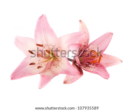 Two pink lilies isolated on white