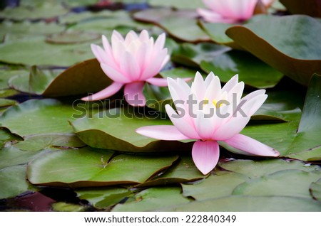 Two pink lilies on the green leaves in water