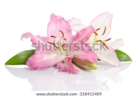 Two pink lily flowers. Isolated on white background - stock photo