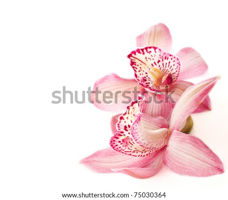 two pink orchids on white