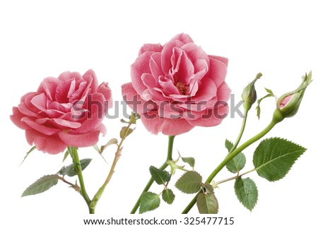 two pink roses isolated on white  - stock photo