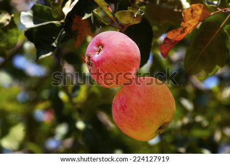 Two pink striped apples hanging on the apple tree branch . Wasp sitting on the ripe apple.