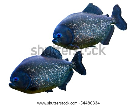 Two piranhas isolated on white background. - stock photo