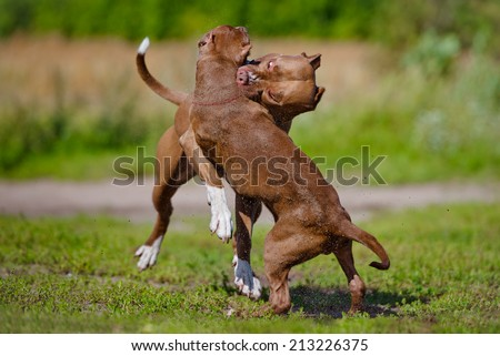 two pit bull terrier dogs playing - stock photo