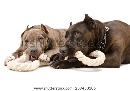 Two pit bull together gnaw rope lying isolated on white background