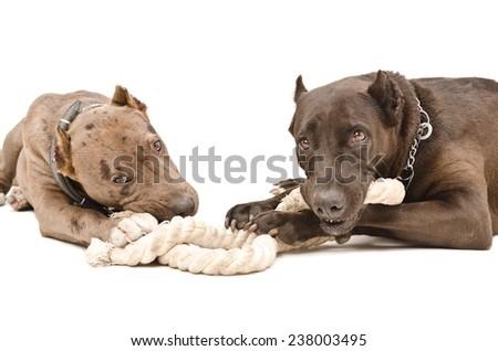 Two pitbull lying gnaw rope isolated on white background - stock photo