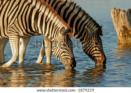 Two Plains (Burchell's) Zebra (Equus quagga) drinking water, Etosha National Park, Namibia - stock photo