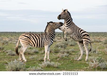 Two Plains (Burchell's) Zebra (Equus quagga), Namibia - stock photo