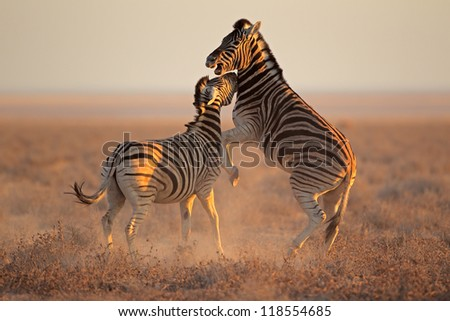 Two Plains (Burchells) Zebra stallions (Equus burchelli) fighting, Etosha National Park, Namibia - stock photo