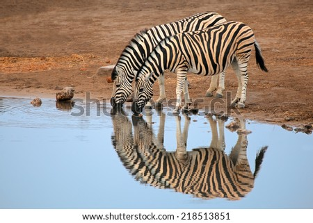 Two plains (Burchells) Zebras (Equus burchelli) drinking water, Etosha National Park, Namibia - stock photo