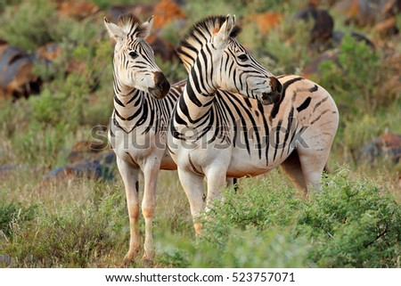 Two plains (Burchells) zebras (Equus burchelli) in natural habitat, South Africa