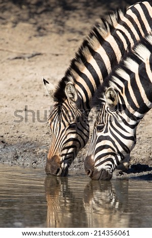 Two Plains  or Burchell's Zebra (Equus quagga) drinking at a waterhole in Hluhluwe game reserve, South Africa - stock photo