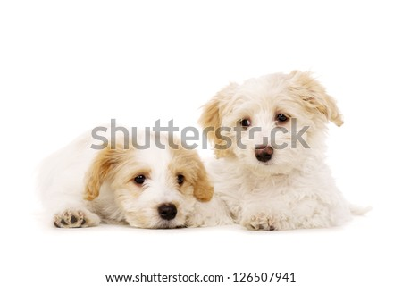 Two playful Bichon Frise cross puppies laid isolated on a white background