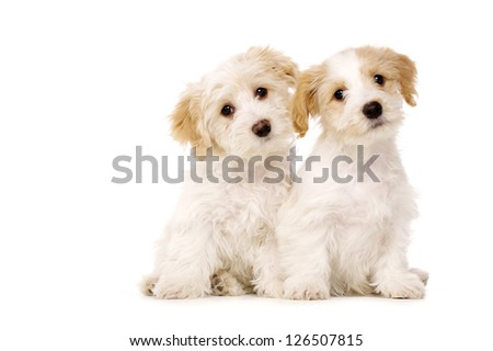 Two playful Bichon Frise cross puppies sat together with their heads tilted isolated on a white background - stock photo