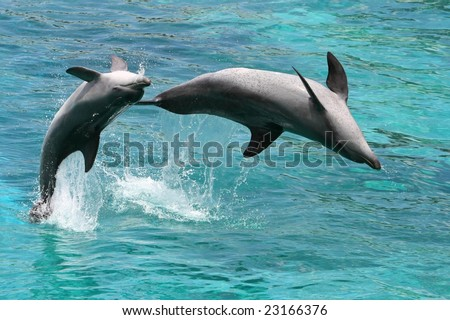 Two playful bottlenose dolphins leaping out of the water - stock photo
