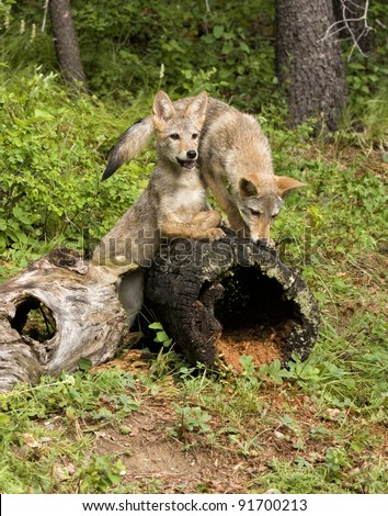 Two Playful Coyote Pups - stock photo